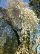 "Our willow (or, as we like to call it, ""umbrella tree"") blooming in spring."
